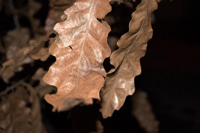 free photos  Dry brown autumn leaf