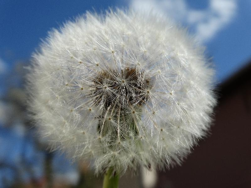 free stock images Grey dandelion flower